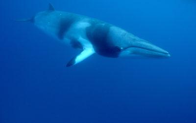 Minke Whale Season 2018- 2019
