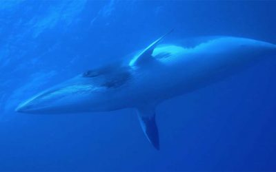 Swim with Minke Whales – Great Barrier Reef
